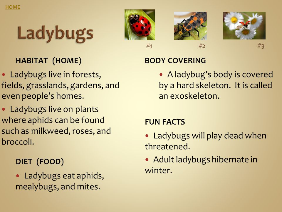 HOME Ladybugs. #1. #2. #3. Habitat (home) Body covering. Ladybugs live in forests, fields, grasslands, gardens, and even people's homes.