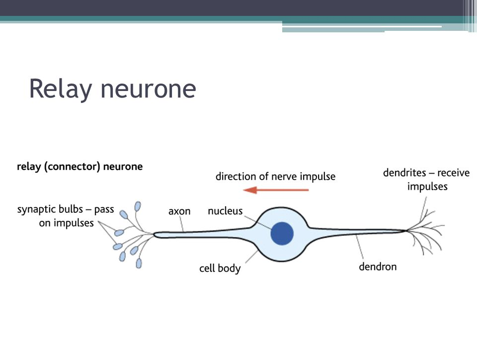 Relay neurone