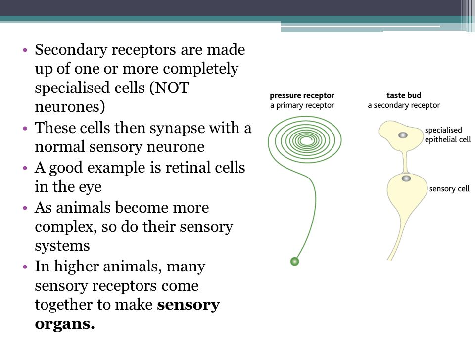 Secondary receptors are made up of one or more completely specialised cells (NOT neurones)