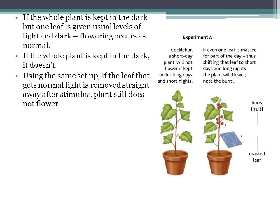 If the whole plant is kept in the dark but one leaf is given usual levels of light and dark – flowering occurs as normal.