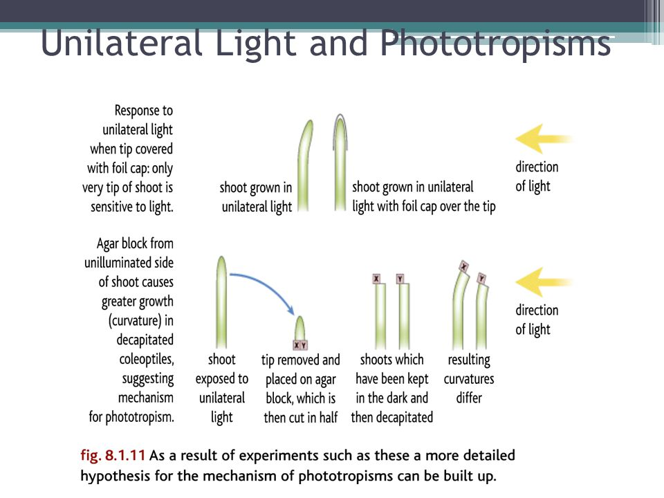 Unilateral Light and Phototropisms