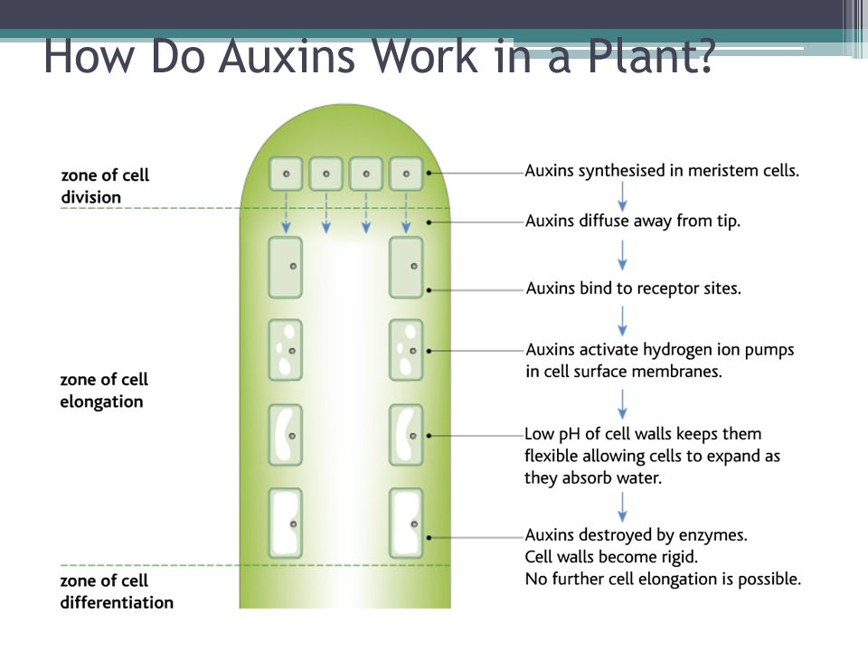 How Do Auxins Work in a Plant