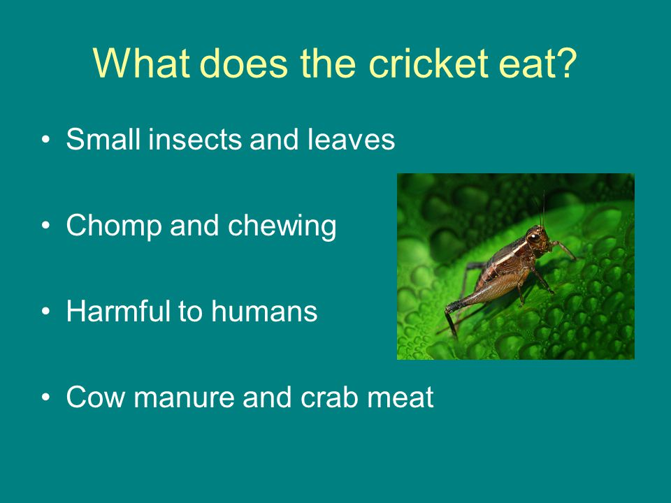 What does the cricket eat