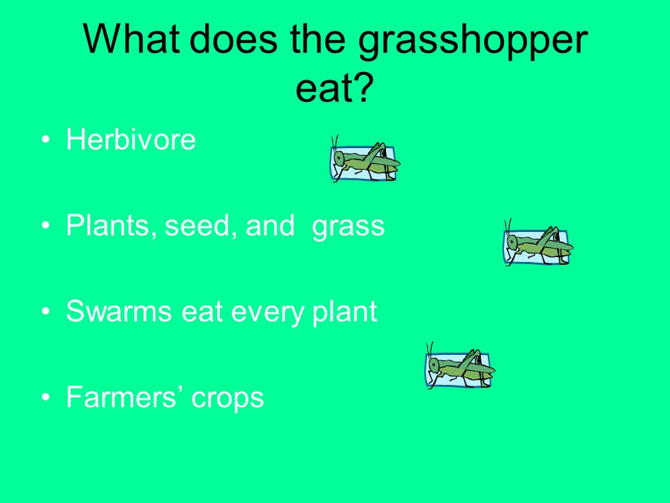What does the grasshopper eat