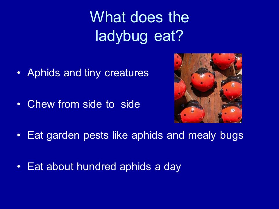 What does the ladybug eat