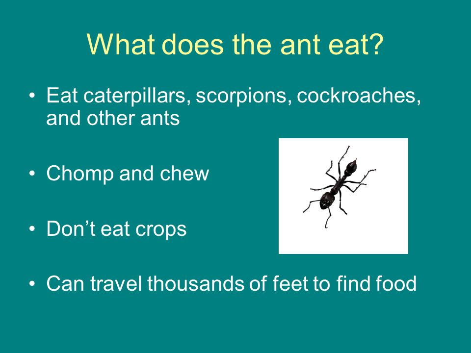 What does the ant eat Eat caterpillars, scorpions, cockroaches, and other ants. Chomp and chew. Don't eat crops.