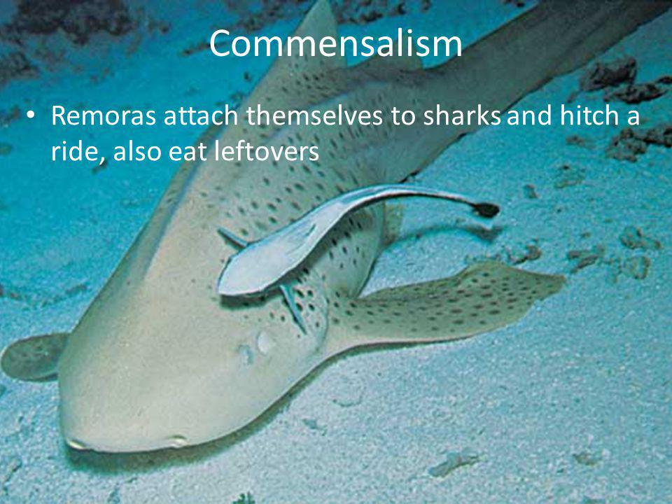 Commensalism Remoras attach themselves to sharks and hitch a ride, also eat leftovers