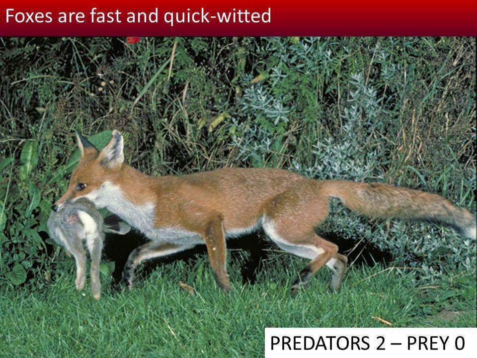 Foxes are fast and quick-witted
