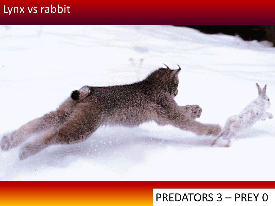 Lynx vs rabbit PREDATORS 3 – PREY 0