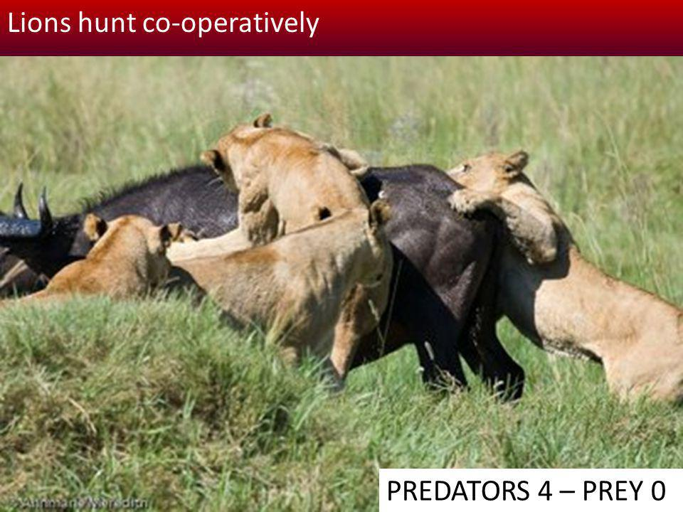 Lions hunt co-operatively