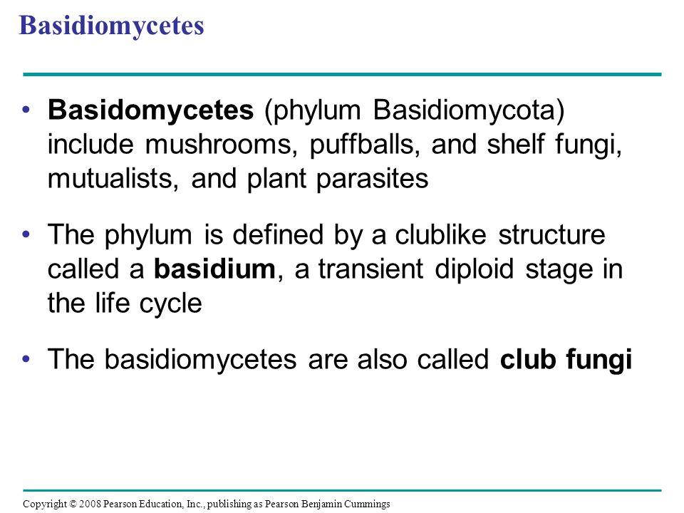 Basidiomycetes Basidomycetes (phylum Basidiomycota) include mushrooms, puffballs, and shelf fungi, mutualists, and plant parasites.