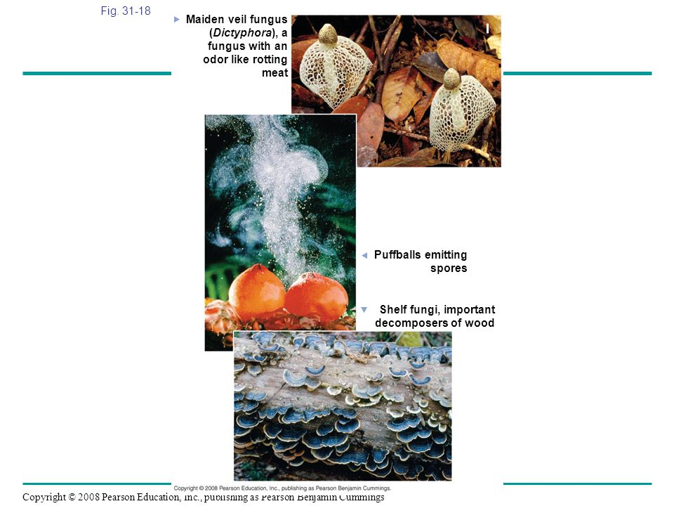 Fig. 31-18 Maiden veil fungus. (Dictyphora), a. fungus with an. odor like rotting. meat. Puffballs emitting.