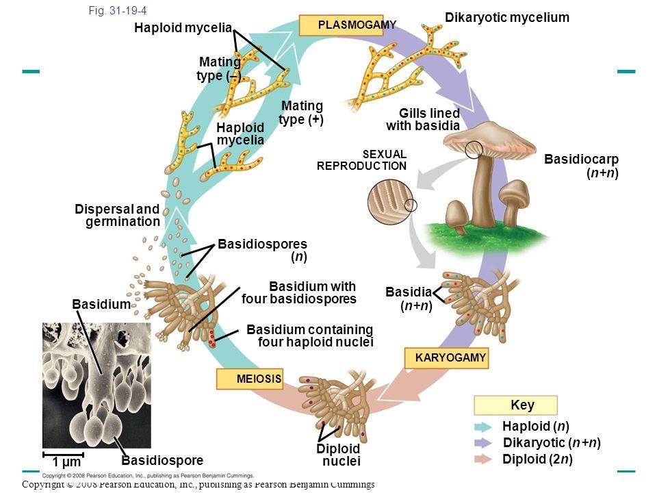 Dikaryotic mycelium Haploid mycelia Mating type (–) Mating type (+)