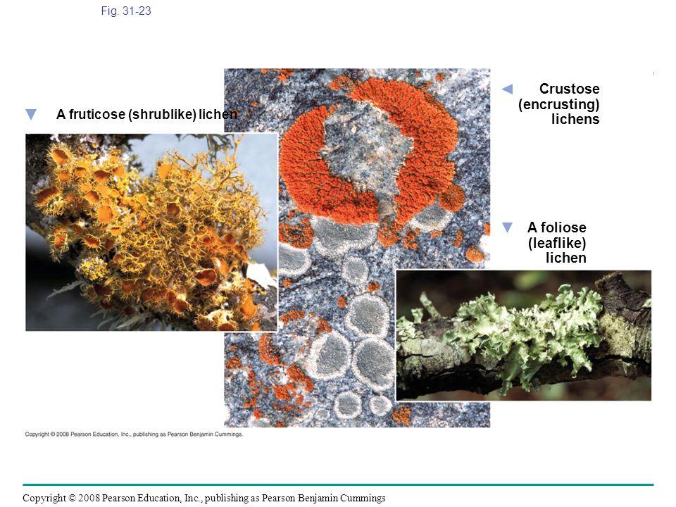Crustose (encrusting) lichens A foliose (leaflike) lichen