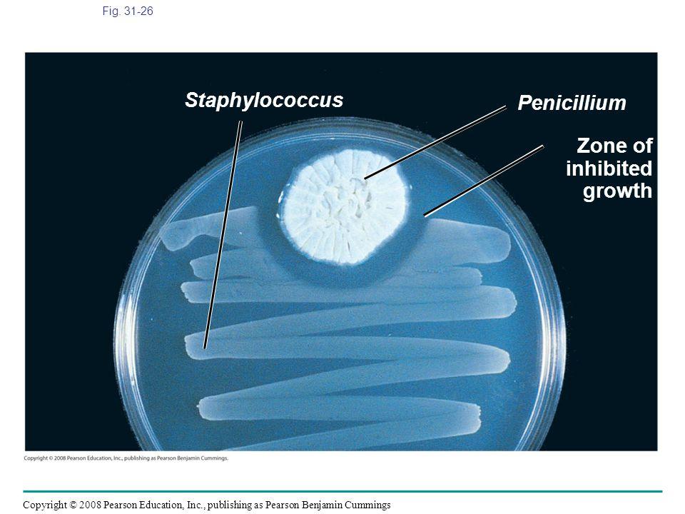 Staphylococcus Penicillium Zone of inhibited growth Fig. 31-26