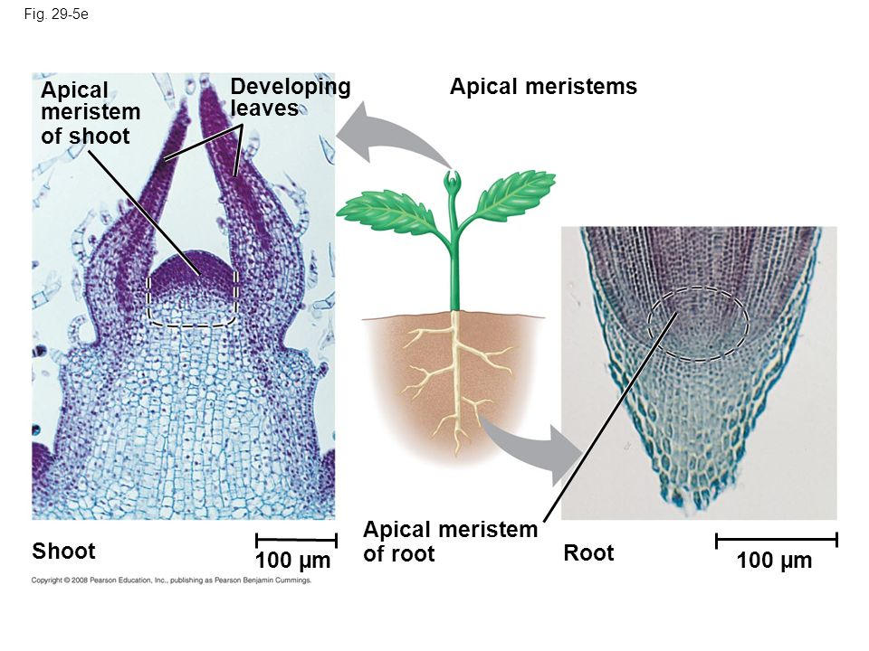 Apical meristem of shoot Developing leaves Apical meristems