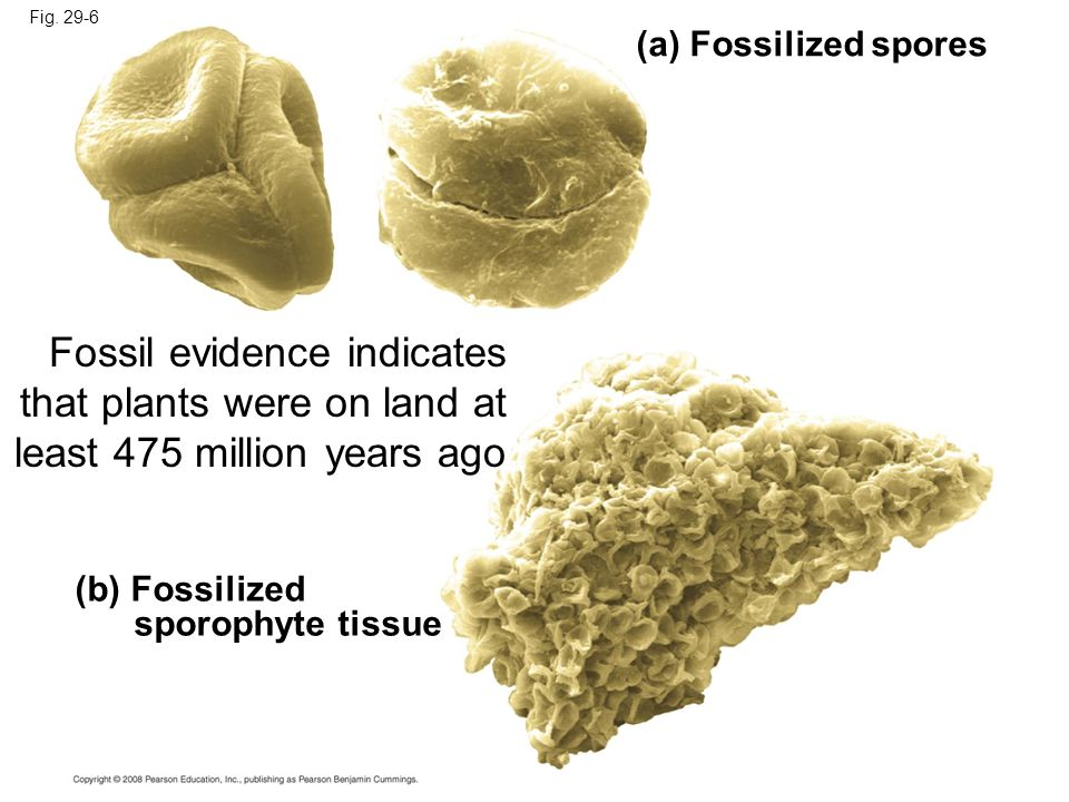Fig. 29-6 (a) Fossilized spores. Fossil evidence indicates that plants were on land at least 475 million years ago.