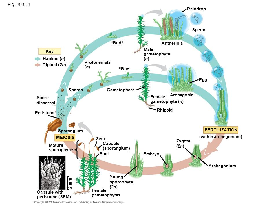 Figure 29.8 The life cycle of a moss