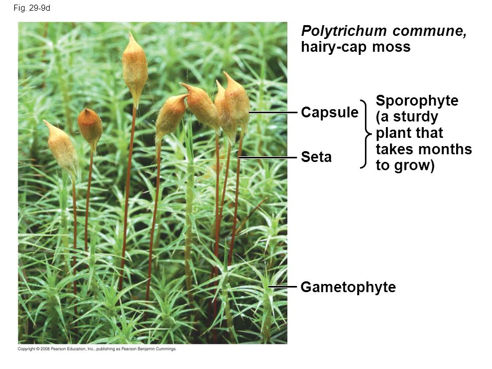 Polytrichum commune, hairy-cap moss Sporophyte (a sturdy Capsule