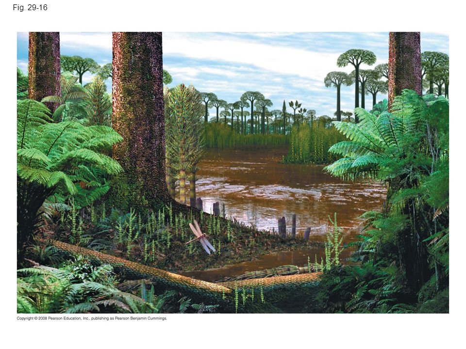 Fig. 29-16 Figure 29.16 Artist's conception of a Carboniferous forest based on fossil evidence