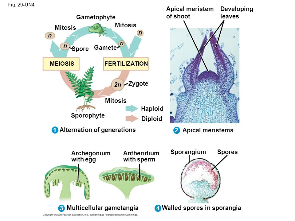 Alternation of generations Apical meristems
