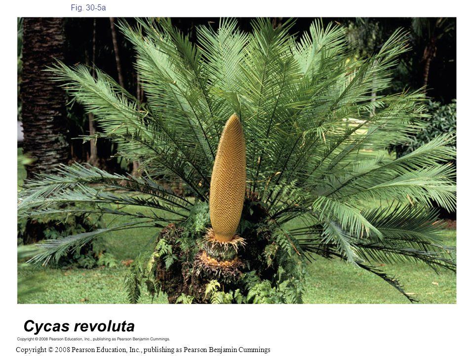 Fig. 30-5a Figure 30.5 Gymnosperm diversity Cycas revoluta