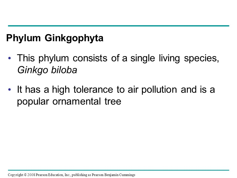 Phylum Ginkgophyta This phylum consists of a single living species, Ginkgo biloba.