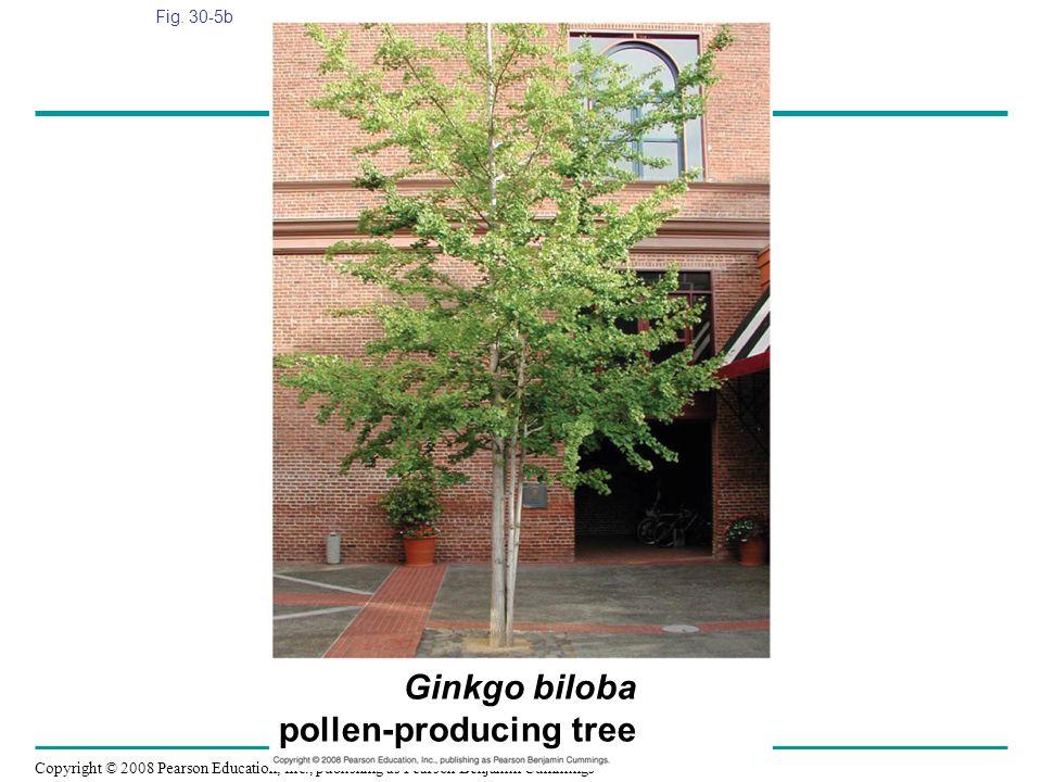 Ginkgo biloba pollen-producing tree