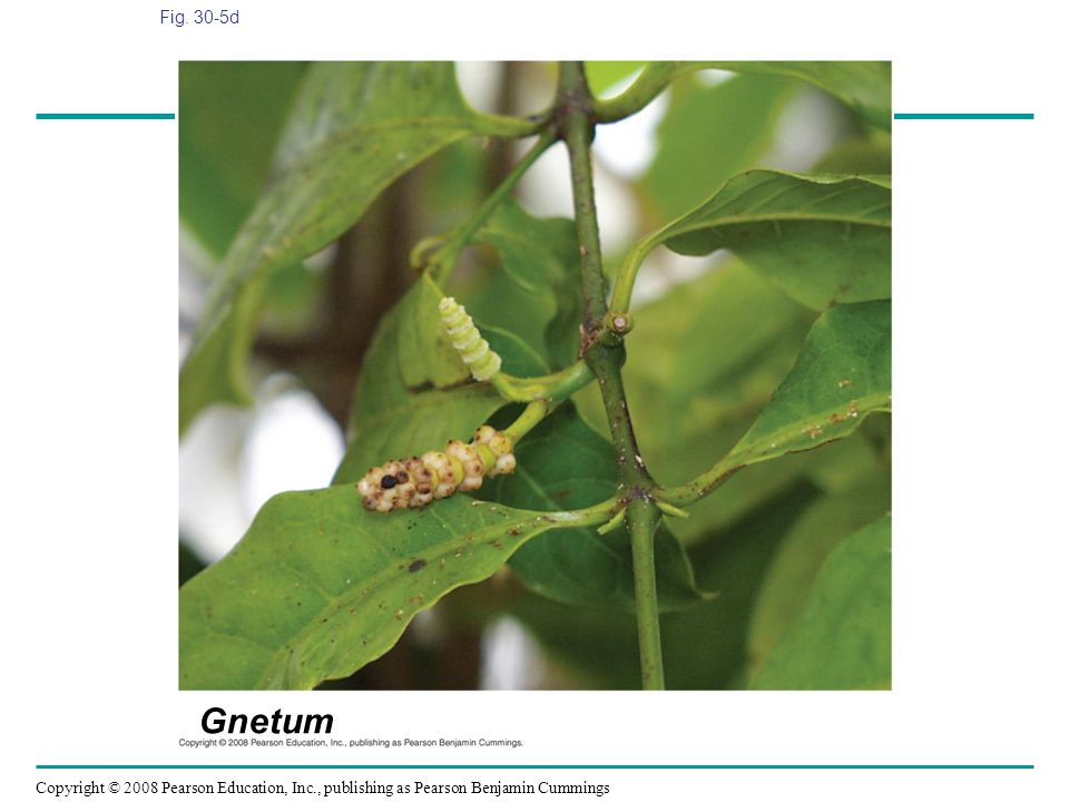 Fig. 30-5d Figure 30.5 Gymnosperm diversity Gnetum