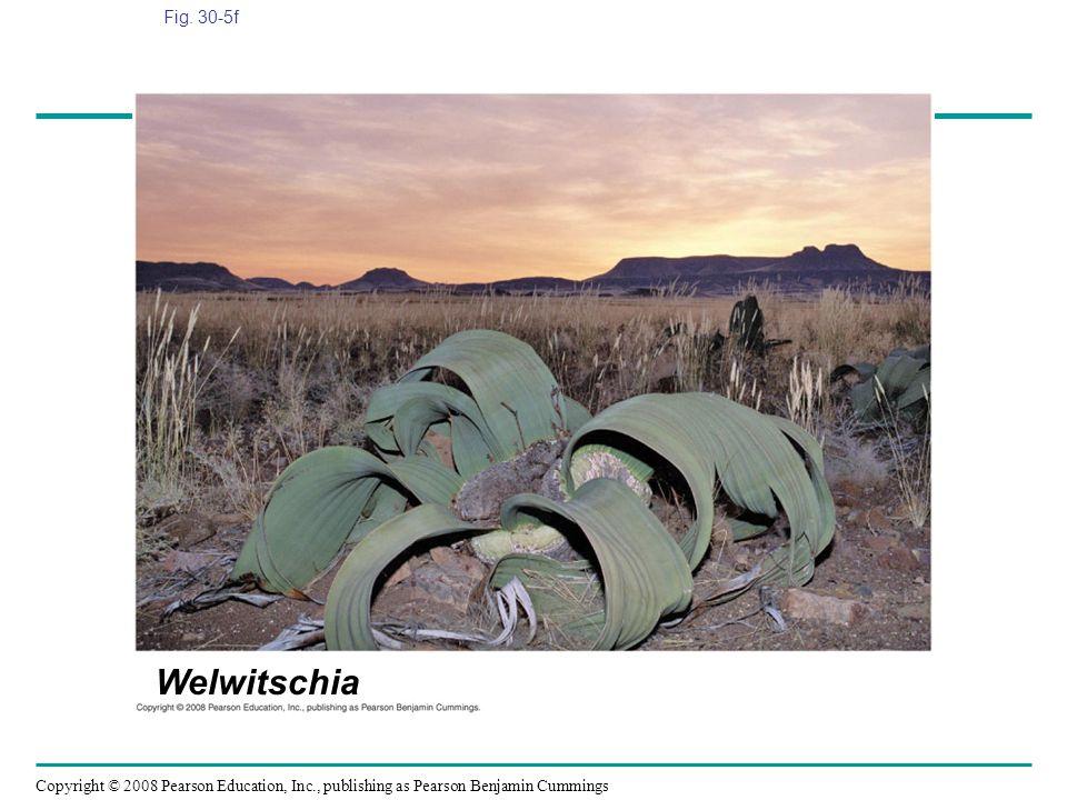 Fig. 30-5f Figure 30.5 Gymnosperm diversity Welwitschia