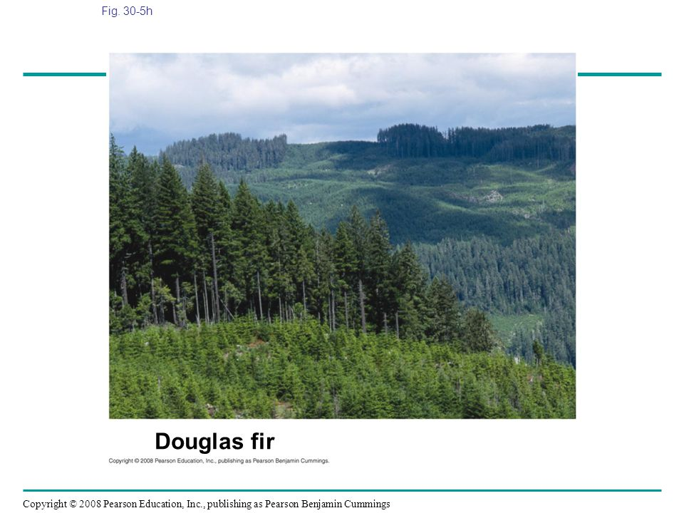 Fig. 30-5h Figure 30.5 Gymnosperm diversity Douglas fir