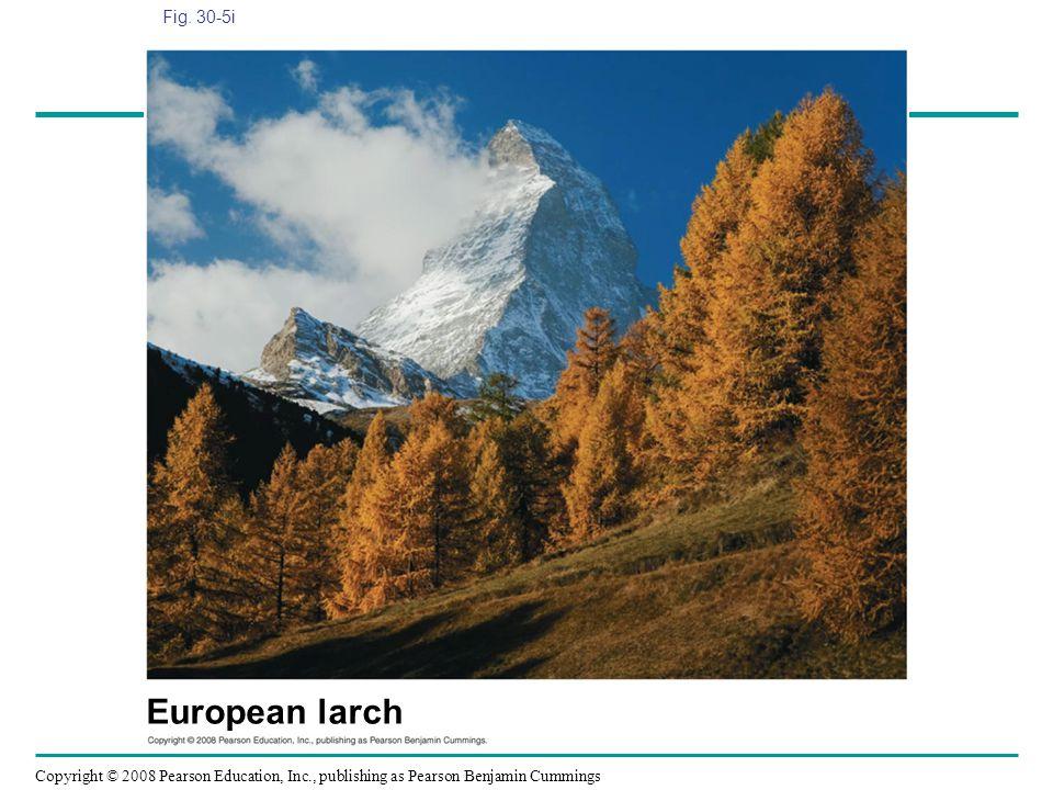 Fig. 30-5i Figure 30.5 Gymnosperm diversity European larch