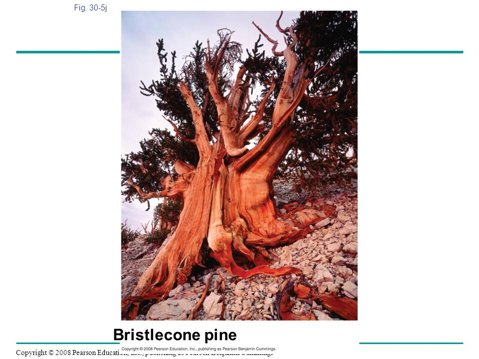 Fig. 30-5j Figure 30.5 Gymnosperm diversity Bristlecone pine