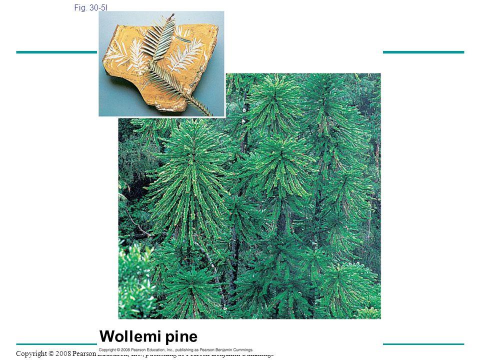 Fig. 30-5l Figure 30.5 Gymnosperm diversity Wollemi pine