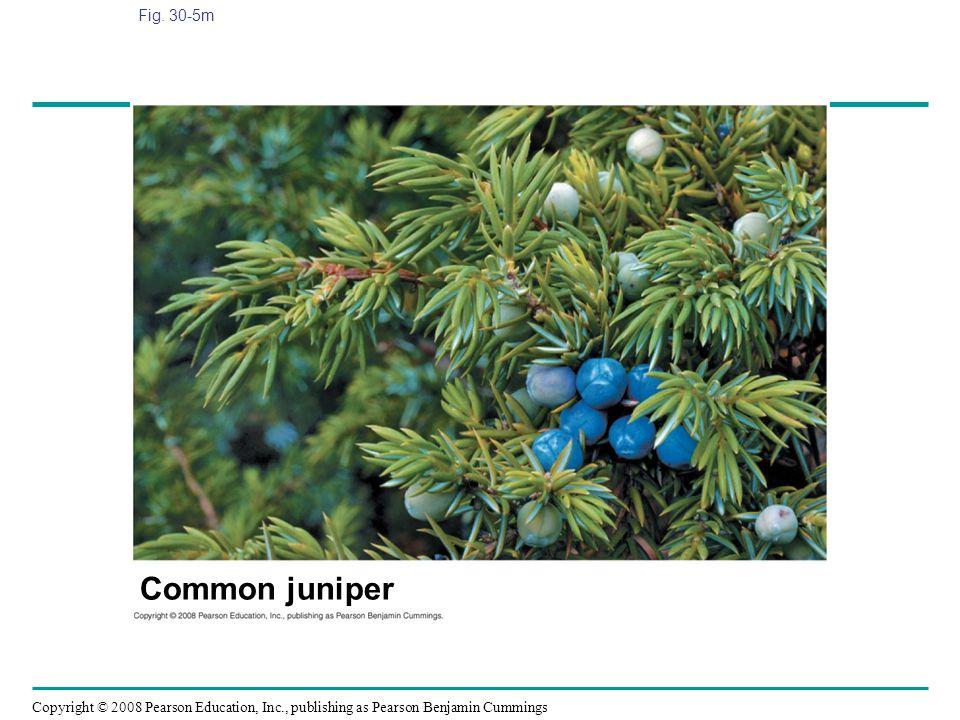 Fig. 30-5m Figure 30.5 Gymnosperm diversity Common juniper
