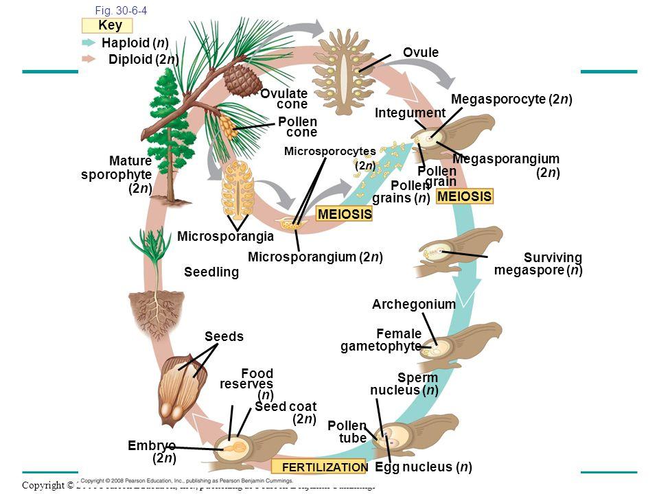 Surviving megaspore (n) Seedling