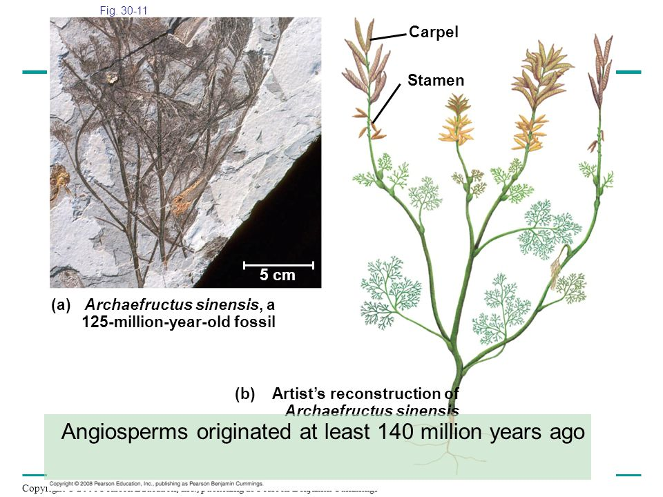 Angiosperms originated at least 140 million years ago