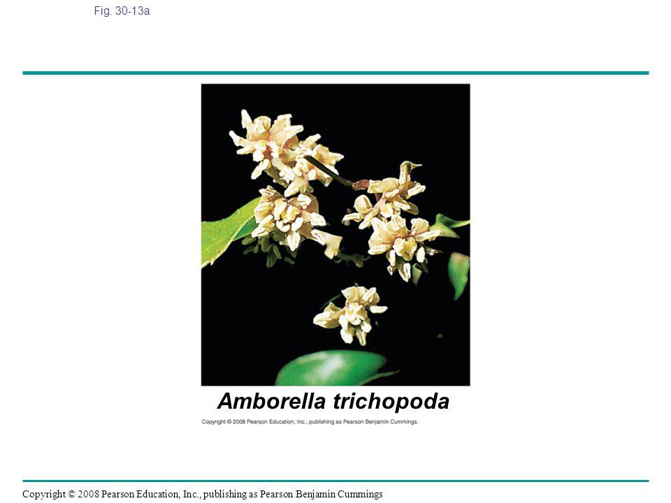 Fig. 30-13a Figure 30.13 Angiosperm diversity Amborella trichopoda