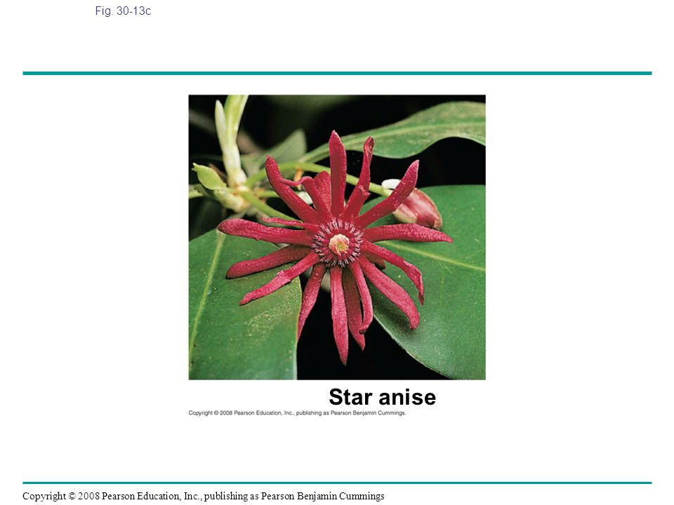 Fig. 30-13c Figure 30.13 Angiosperm diversity Star anise