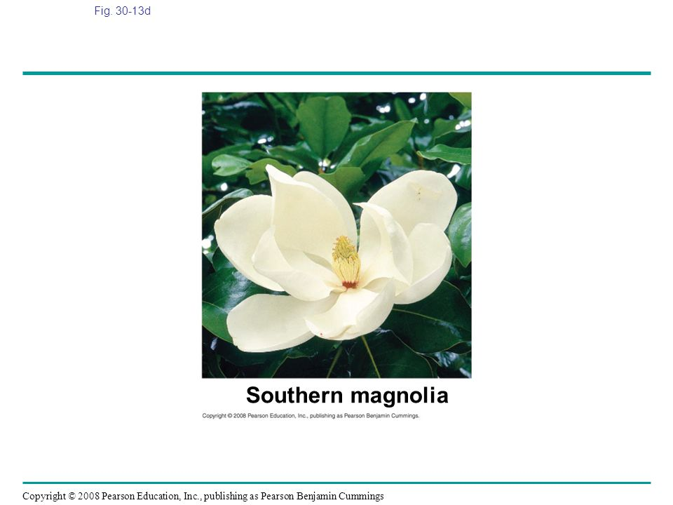 Fig. 30-13d Figure 30.13 Angiosperm diversity Southern magnolia