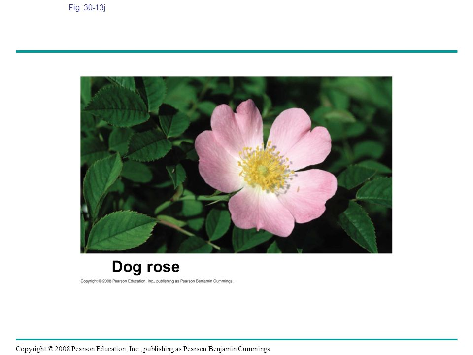 Fig. 30-13j Figure 30.13 Angiosperm diversity Dog rose