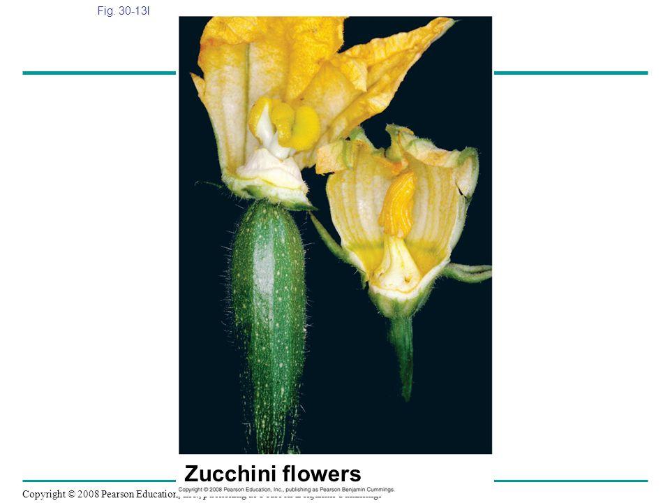 Fig. 30-13l Figure 30.13 Angiosperm diversity Zucchini flowers