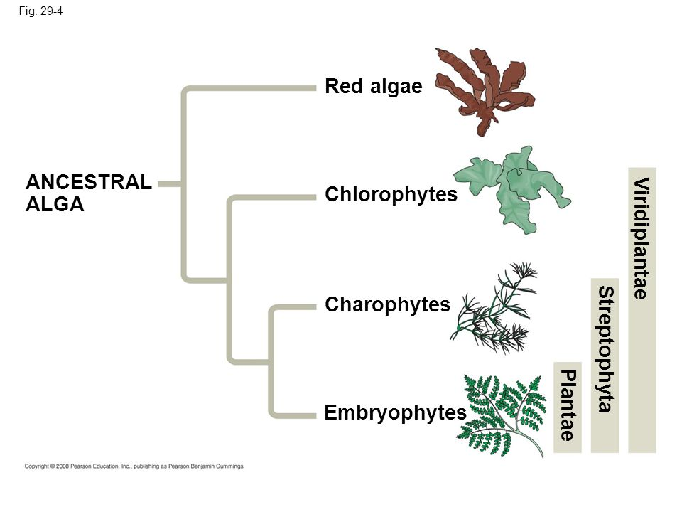 Red algae ANCESTRAL ALGA Chlorophytes Viridiplantae Charophytes