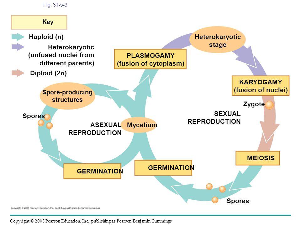 Haploid (n) Heterokaryotic stage Heterokaryotic (unfused nuclei from