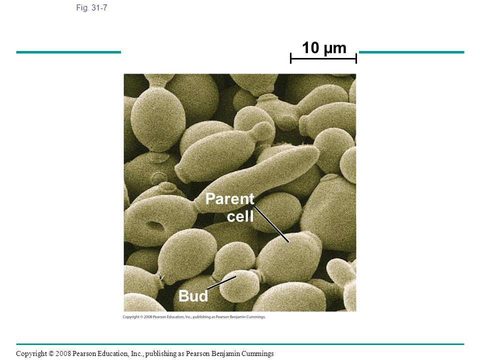 Fig. 31-7 10 µm. Parent. cell. Figure 31.7 The yeast Saccharomyces cerevisiae in several stages of budding (SEM)
