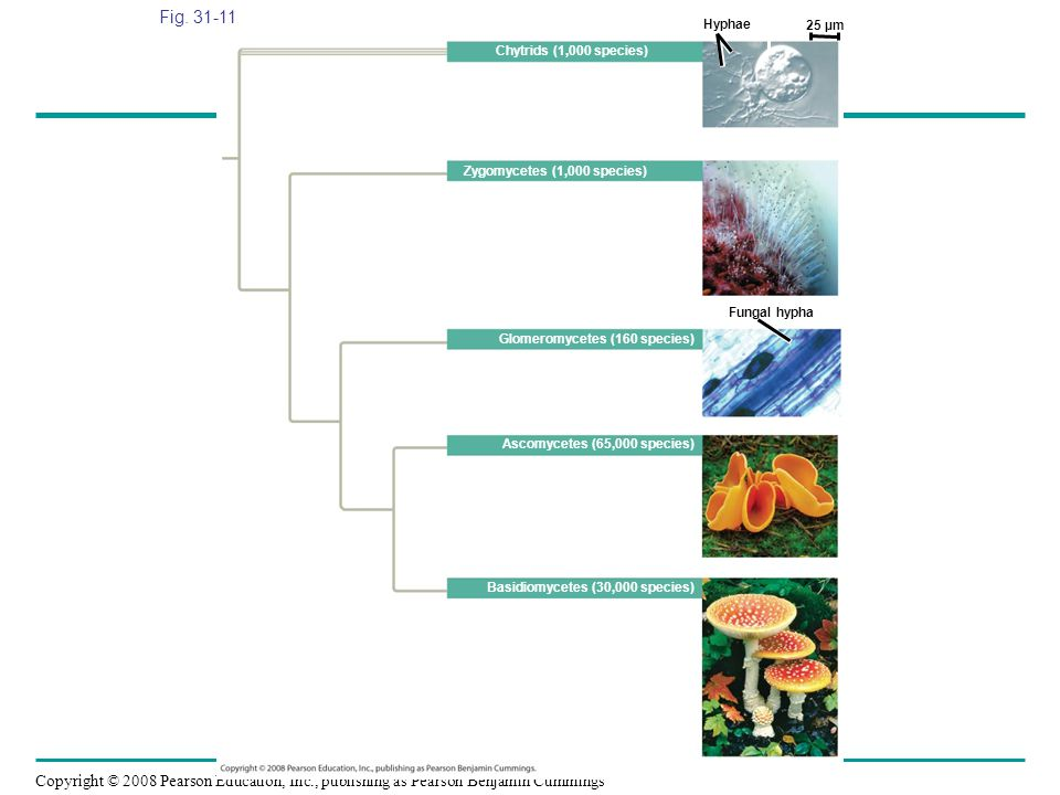 Figure 31.11 Fungal diversity