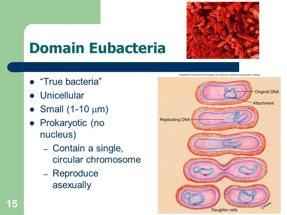 Domain Eubacteria True bacteria Unicellular Small (1-10 mm)