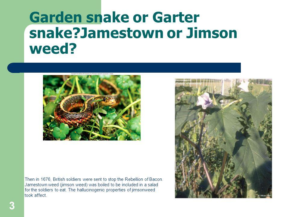 Garden snake or Garter snake Jamestown or Jimson weed