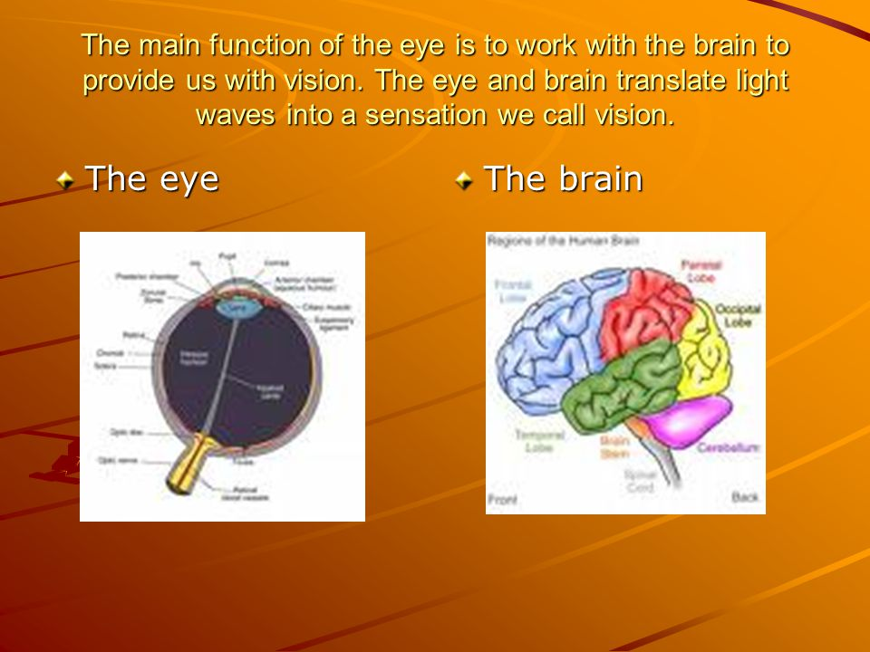 The main function of the eye is to work with the brain to provide us with vision. The eye and brain translate light waves into a sensation we call vision.