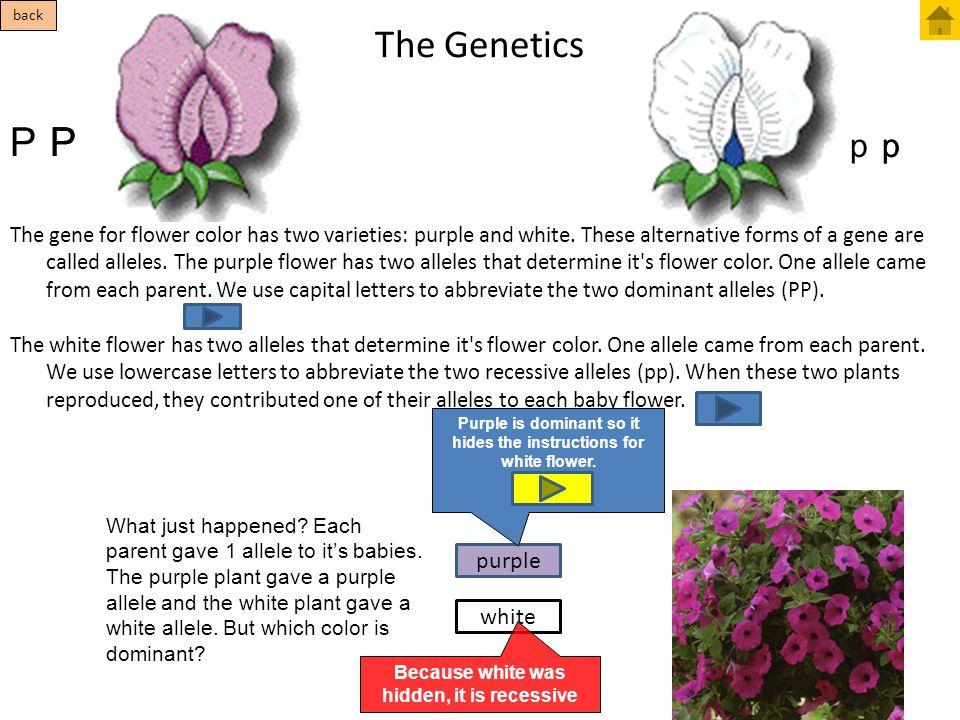 The Genetics P P P p p p purple white